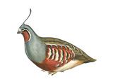 Mountain Quail (Oreortyx Pictus), Birds Posters par  Encyclopaedia Britannica