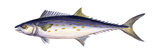 Spanish Mackerel (Scomberomorus Maculatus), Fishes Photo