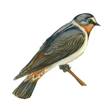 Cliff Swallow (Petrochelidon Pyrrhonota), Birds Prints by  Encyclopaedia Britannica