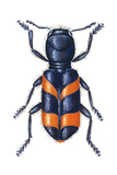 Checkered Beetle (Trichodes Apiarius), Insects Prints