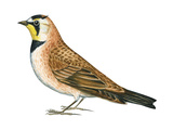 Horned Lark (Eremophila Alpestris), Birds Reproduction sur métal par  Encyclopaedia Britannica