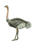 Ostrich (Struthio Camelus), Birds Stretched Canvas Print by  Encyclopaedia Britannica