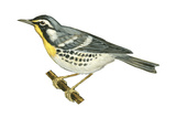 Yellow-Throated Warbler (Dendroica Dominica), Birds Posters by  Encyclopaedia Britannica