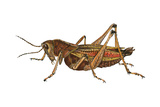 Lubber Grasshopper (Dictyophorus Reticulatus), Insects Posters by  Encyclopaedia Britannica