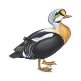King Eider (Somateria Spectabilis), Duck, Birds Stretched Canvas Print by  Encyclopaedia Britannica