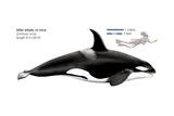 Orca or Killer Whale (Orcinus Orca), Mammals Poster van  Encyclopaedia Britannica