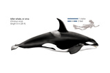 Orca or Killer Whale (Orcinus Orca), Mammals Posters by  Encyclopaedia Britannica