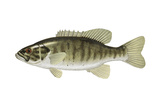 Smallmouth Bass (Micropterus Dolomieui), Fishes Posters by  Encyclopaedia Britannica