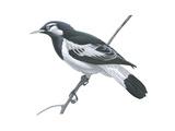 Mudlark (Grallina Cyanoleuca), Birds Posters par  Encyclopaedia Britannica