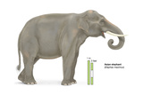 Asian Elephant (Elephas Maximus), Mammals Posters by  Encyclopaedia Britannica