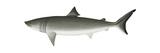 Basking Shark (Cetorhinus Maximus), Fishes Prints by  Encyclopaedia Britannica