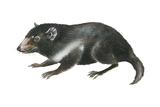 Tasmanian Devil (Sarcophilus Harrisii), Marsupial, Mammals Billeder af Encyclopaedia Britannica