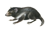 Tasmanian Devil (Sarcophilus Harrisii), Marsupial, Mammals Photo by  Encyclopaedia Britannica