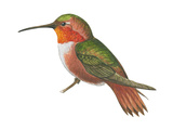 Allen's Hummingbird (Selasphorus Sasin), Birds Poster by  Encyclopaedia Britannica