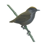 Wrenthrush (Zeledonia Coronata), Birds Photo by  Encyclopaedia Britannica