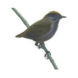 Wrenthrush (Zeledonia Coronata), Birds Photo