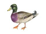 Mallard (Anas Platyrhynchos), Duck, Birds Stretched Canvas Print by  Encyclopaedia Britannica