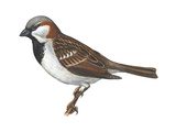 House or English Sparrow (Passer Domesticus), Birds Poster by  Encyclopaedia Britannica