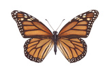 Monarch Butterfly (Danaus Plexippus), Milkweed Butterfly, Insects Photo by  Encyclopaedia Britannica
