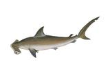 Smooth Hammerhead Shark (Sphyrna Zygaena), Fishes Prints