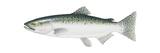 King Salmon (Oncorhynchus Tshawytscha), Fishes Poster van  Encyclopaedia Britannica