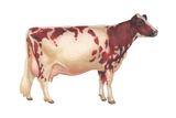 Ayrshire Cow, Dairy Cattle, Mammals Prints