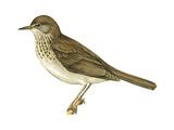 Gray-Cheeked Thrush (Hylocichla Minima), Birds Posters
