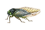 Harvest Fly (Tibicen Linnei), Insects Posters by  Encyclopaedia Britannica