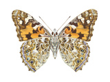 Painted Lady Butterfly - Underside (Vanessa Virginiensis), American Painted Lady, Insects Pósters por  Encyclopaedia Britannica