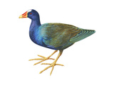 Purple Gallinule (Porphyrula Martinica), Birds Posters by  Encyclopaedia Britannica