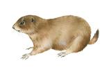 Black-Tailed Prairie Dog (Cynomys Ludovicianus), Mammals Plakater af  Encyclopaedia Britannica