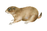 Black-Tailed Prairie Dog (Cynomys Ludovicianus), Mammals Prints by  Encyclopaedia Britannica