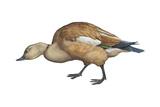 Ruddy Shelduck (Casarca Ferruginea), Duck, Birds Photo by  Encyclopaedia Britannica