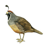 California Quail (Callipepla Californica), Birds Posters by  Encyclopaedia Britannica