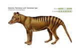 Tasmanian Wolf (Thylacinus Cynocephalus), Tasmanian Tiger, Thylacine, Extinct Species, Mammals Prints by  Encyclopaedia Britannica