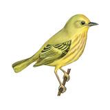 Yellow Warbler (Dendroica Petechia), Birds Affiches par  Encyclopaedia Britannica