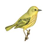 Yellow Warbler (Dendroica Petechia), Birds Prints by  Encyclopaedia Britannica