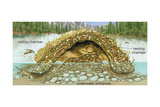 Beaver Lodge or House in Cross Section. (Castor Canadensis), Mammals Reprodukcje autor Encyclopaedia Britannica