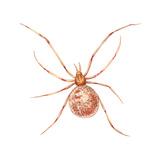 Comb-Footed Weaver (Theridion Tepidariorum), Spider, Arachnids Posters af Encyclopaedia Britannica