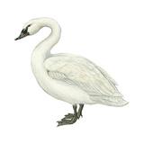 Trumpeter Swan (Cygnus Cygnus Buccinator), Birds Stretched Canvas Print by  Encyclopaedia Britannica