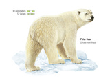 Polar Bear (Ursus Maritimus), Mammals Stretched Canvas Print by  Encyclopaedia Britannica