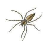 Nursery Web Spider (Pisaurina Mira), Arachnids Plakater af Encyclopaedia Britannica