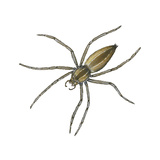 Nursery Web Spider (Pisaurina Mira), Arachnids Prints