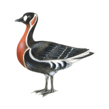 Red-Breasted Goose (Branta Ruficollis), Birds Prints by  Encyclopaedia Britannica