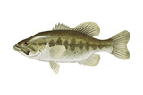 Largemouth Bass (Micropterus Salmoides), Fishes Posters van  Encyclopaedia Britannica