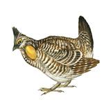 Greater Prairie Chicken (Tympanuchus Cupido), Birds Poster by  Encyclopaedia Britannica
