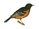 Orchard Oriole (Icterus Spurius), Birds Reproduction sur métal par  Encyclopaedia Britannica