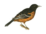 Orchard Oriole (Icterus Spurius), Birds Poster