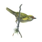 Peppershrike (Cyclarhis Nigrirostris), Birds Posters par  Encyclopaedia Britannica