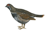 Spruce Grouse (Falcipennis Canadensis), Birds Prints by  Encyclopaedia Britannica